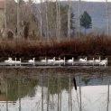 Голямо ято лебеди радват жителите и гостите на Бяла черква.
