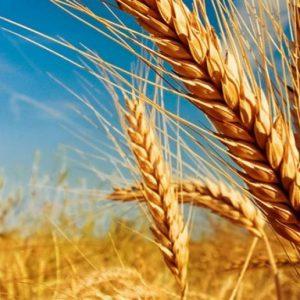 Застрашена от компрометиране е реколтата от пшеница и ечемик в областта